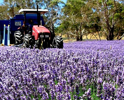 We can determine the Lavandula cultivar from which lavender oil is extracted.