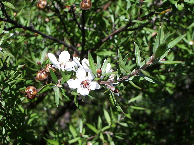 Manuka leaves are a source of valuable essential oil with powerful bioactivity properties.