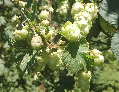 New Zealand has an extensive hop breeding history that has created hops with unique flavour characteristics